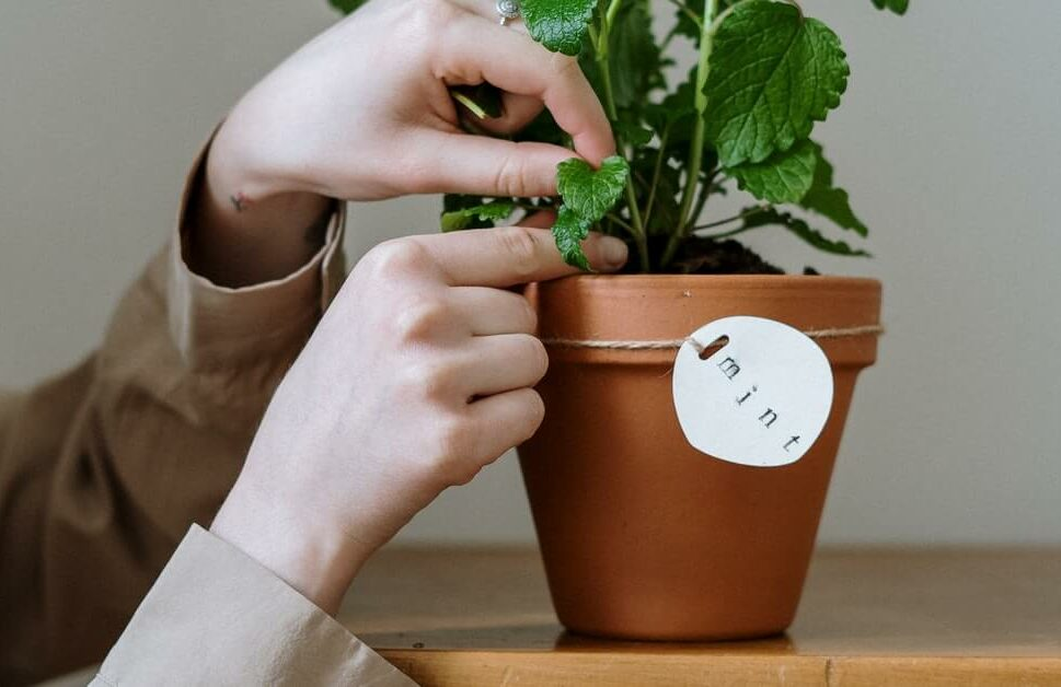 pot with mint to grow at home