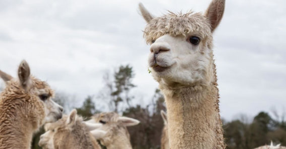 an alpaca on the front and 3 alpacas in the back